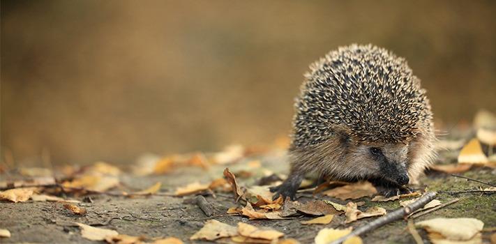 hedgehog-in-garden