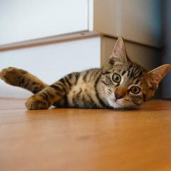 A tortoiseshell cat looks into the camera as it rolls over on wooden floor