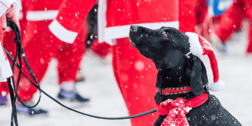 A black labrador in a festive bow waits patiently at the start of a Santa Fun Run