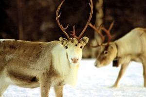 1 reindeer