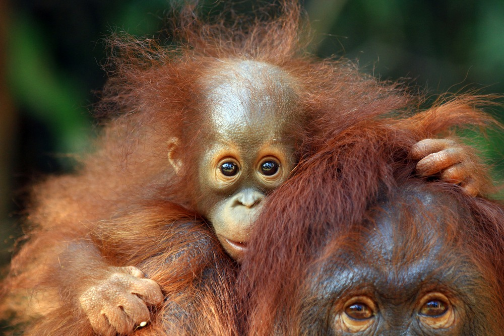 Celebrate Orangutan Day this Sunday!